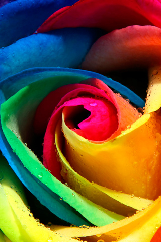 Rainbow Rose - by Ioswl