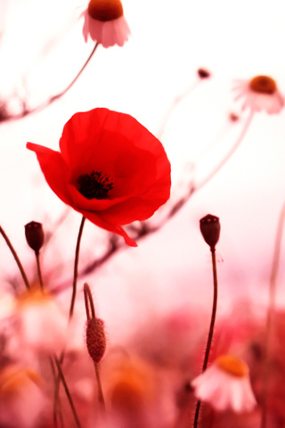 Red Flower - by Ioswl