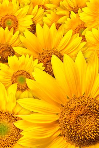 Sunflower - by Ioswl